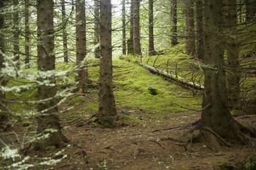 Bunch of trees in a lovely forest in Norway