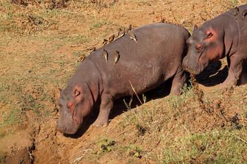 Hippos (Hippopotamus amphibius) with oxpecker birds, Kruger National Park, South Africa.