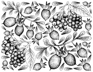Hand Drawn of Elderberry and Diospyros Lycioides Fruits