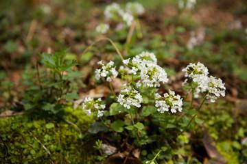 Wild forest flower white close-up.