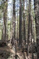 Pine forest, forest landscape