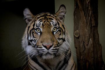 Sumatran Tiger, Panthera Tigris Sumatrae.