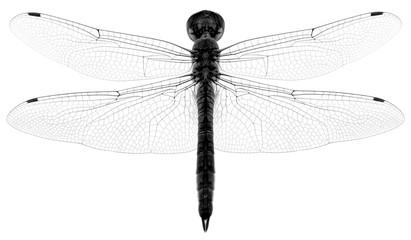 libellule en noir et blanc, fond blanc