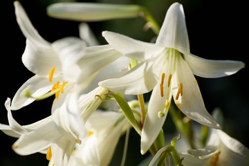 Flower white Lily close-up.