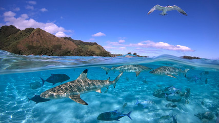 Over under sea surface sharks,tropical fish and bird ,Pacific ocean, French Polynesia