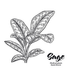 Salvia officinalis plant also called sage garden isolated on white background. Hand drawn vector illustration engraved.