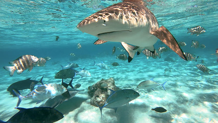 snorkeling in a lagoon with sharks, French Polynesia