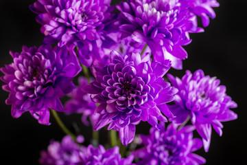 Purple chrysanthemum on dark background. Macro shot with shallow depth of field.