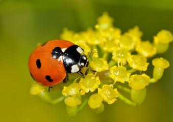Ladybug on the plant flower.