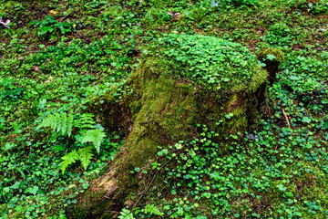 Forest Floor. Forest Stump with Green Moss.
