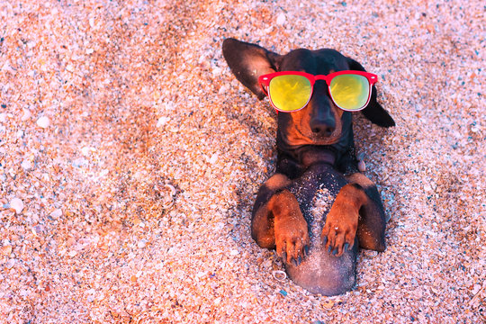 Top view  cute dog of dachshund, black and tan, wearing red sunglasses, having relax and enjoying buried in the sand at the beach ocean on summer vacation holidays. Copy space for text