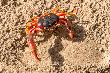 "Geocarcinus sp ""Touloulou"" red crab in Martinique, Carribean."