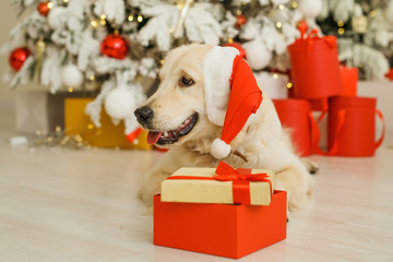 Golden retriever in santa hat, christmas