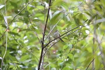 Blue-winged Minla (Siva cyanouroptera orientalis) in Da lat, Vietnam