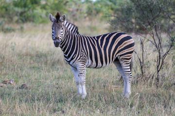 Wall Murals Zebra Safari Animals