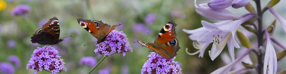 butterflies on the garden flowers - macro photo
