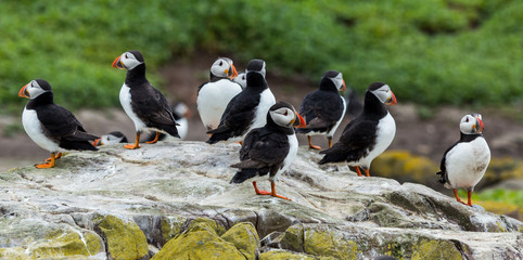 Puffins, sea birds, on rocks at the Farne Islands, Northumberland, England, UK.