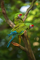 Photo sur Plexiglas Perroquets Military Macaw- Ara militaris, large beautiful green parrot from South America forests, Argentina.