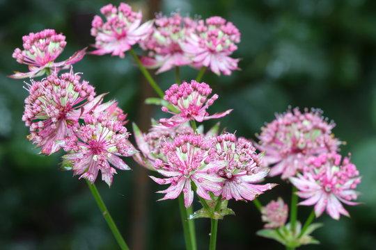 Sterndolde in Pink Makro Astrantia