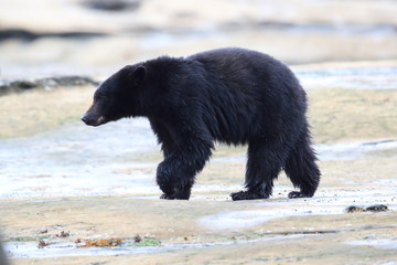 Black bear roaming low tide shores, looking for crabs. Vancouver Island,  Canada.