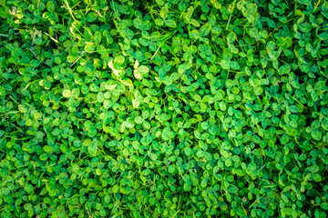 Green outdoor pattern of clover leafs from above.