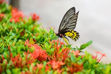 Beautiful big black yellow wing butterfly on spike flower bush