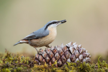Eurasian nuthatch in the forest (Sitta europaea), Andalusia, Spain