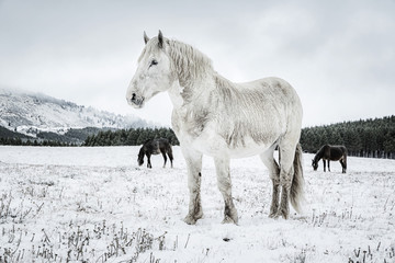 White stallion in the snow with two mares in the background