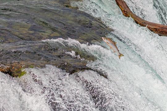 Single Salmon Jumping Over  the Brooks Falls at Katmai National Park, Alaska