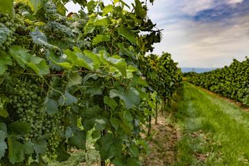 Vitigno di Prosecco, grappoli d'uva pronti per la vendemmia