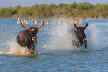 Two bulls running in the water, charging bulls in Camargue
