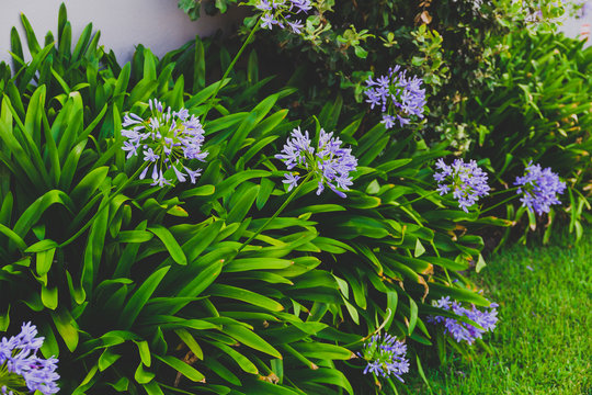 close-up of beautiful subtropical Agapanthus Lily of the Nile plant