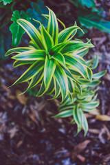 close-up of beautiful subtropical succulent plant