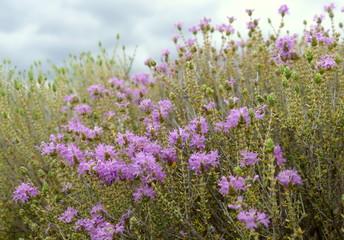 Wilder Thymian in Blüte