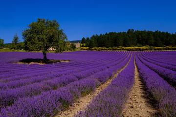 Garden Poster Lavender Champ de lavande sur le plateau d'Albion, Aurel. Provence, France. Un arbre au milieu de champ.