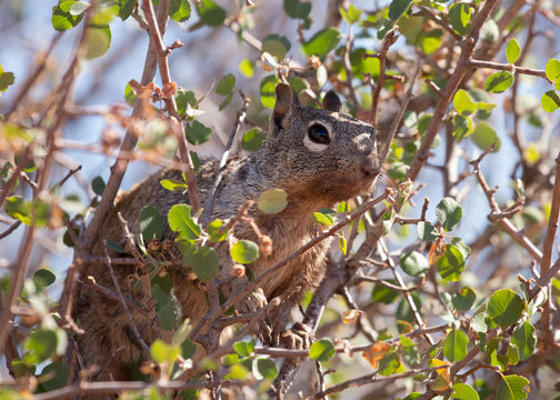 A western grey squirrel watches it's territory from high in the branches of a tree