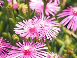 綺麗に咲くマツバギク