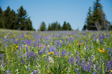 Purple and Yellow Flowers Populate a Vivid Meadow