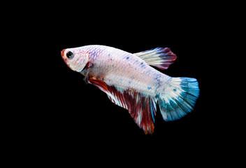 Fancy Betta Siamese fighting fish, Betta splendens (Plakat Thai) is a popular species of freshwater aquarium fish isolated on black
