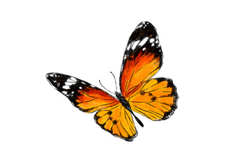 Beautiful monarch butterfly isolated on white background. Realistic hand drawing illustration. Insect collection.