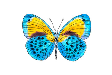 Beautiful blue and yellow butterfly isolated on white background. Realistic hand drawing illustration. Insect collection.