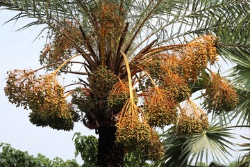 It is a picture of a wonderful date tree. It is wonderful fruit and testy.