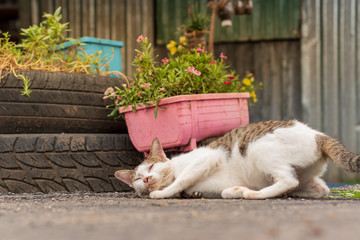 Thai Cat Breeds Are enjoying Indian acalypha and are alternately white cats.