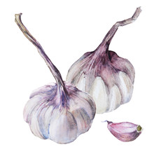Sketch of garlic isolated on background. Watercolor illustration.