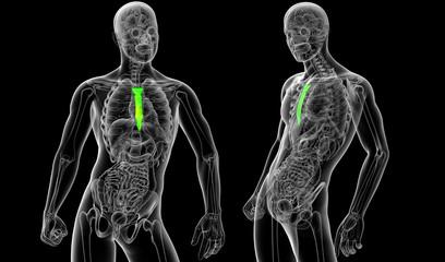 3d rendering medical illustration of the sternum bone