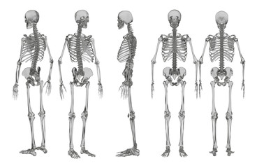 3d rendering illustration of skeleton