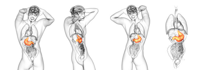 3d rendering medical illustration of the stomach