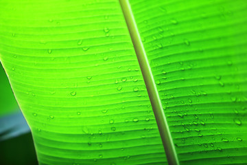 Wall Mural - texture of green banana leaf background.