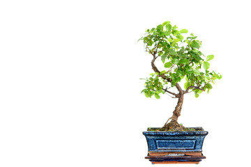 Tuinposter Bonsai sagaretie bonsai in blue bowl