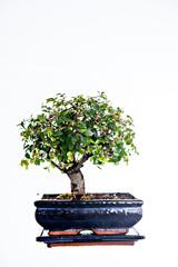 Chinese elm bonsai in blue bowl